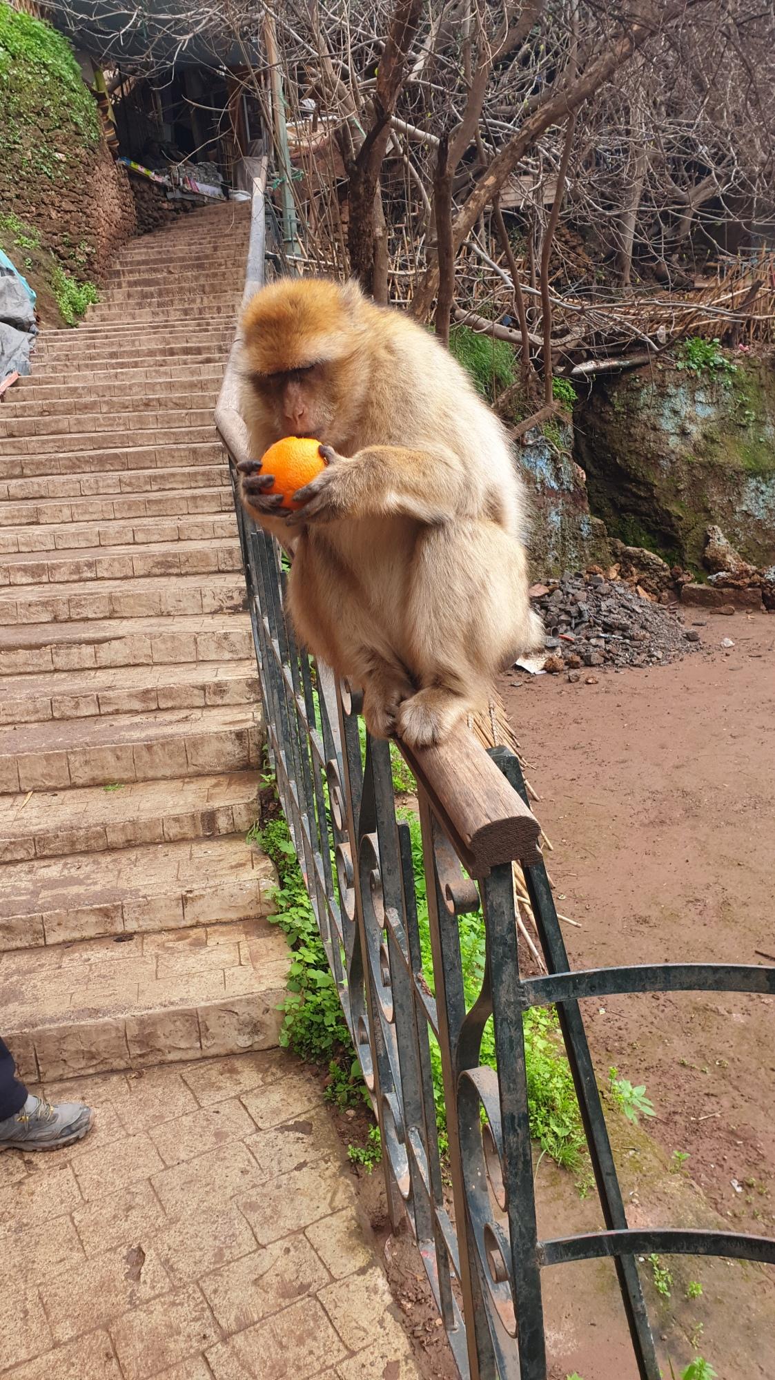 Un singe magot mangeant une orange
